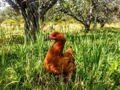 Photo of Free-range chicken