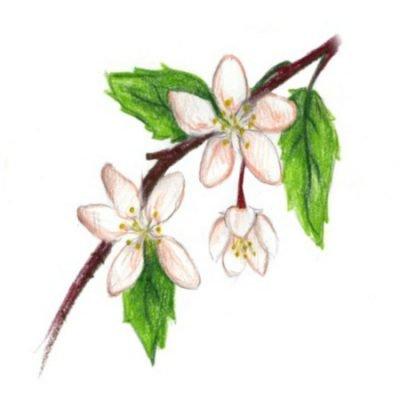 Flowering Crab Trees